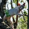 Котенок канадского сфинкса. Питомник AprioriNaked.